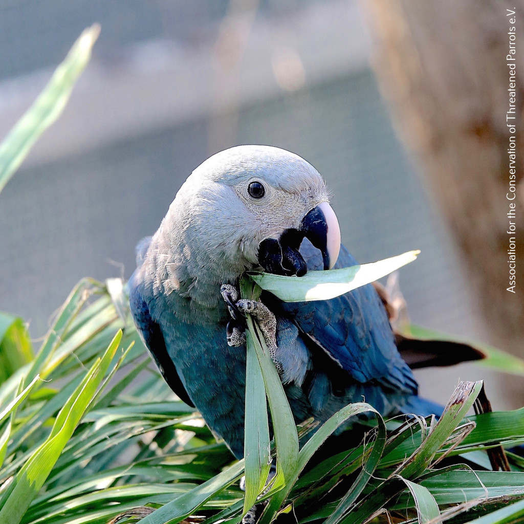2 (1). A young Spix's Macaw bred by ACTP. Photo by Simon Degenhard copy
