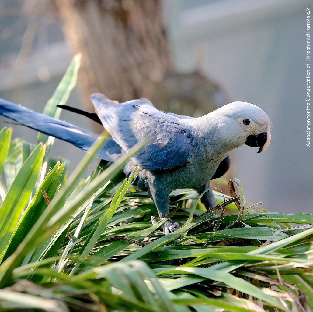 Young Spix's Macaw bred by ACTP (1)