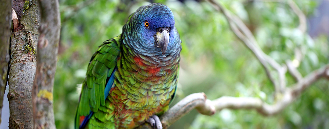 Image result for amazona versicolor st lucia