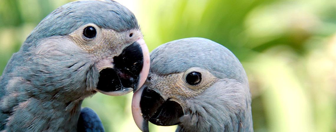 spix s macaw actp