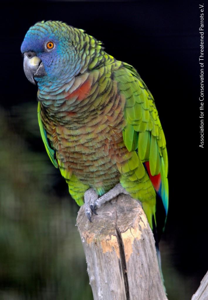 St Lucia Amazon