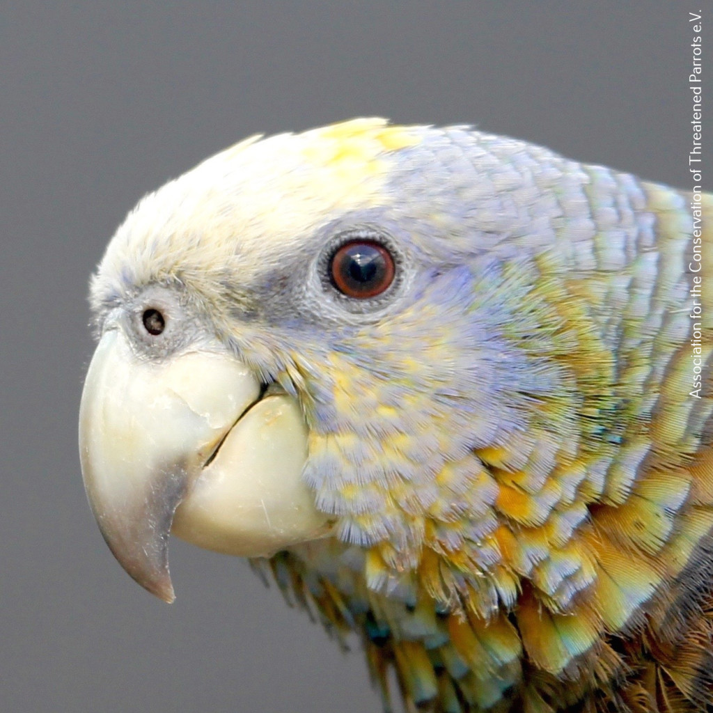 Young St (1). Vincent Amazon (Amazona guildingii) by Simon Degenhard