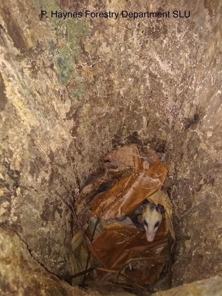Possum in a Saint Lucia Amazon nest