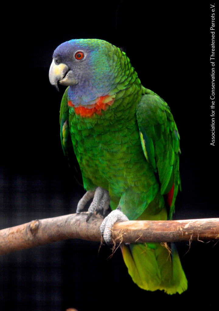 Red-necked Amazon at ACTP (4)