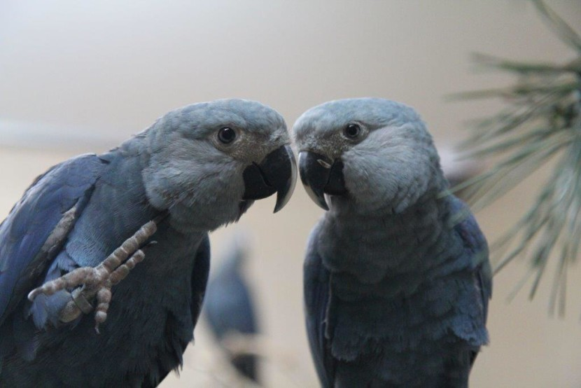 Spix's Macaw Reintroduction Becomes Reality - ACTP